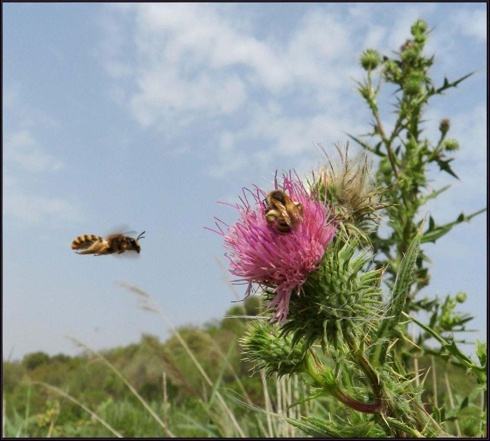 Japanese Thistle & Honey Bees