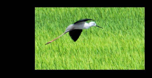Black-winged Stilt Flying Over the Rice Fields