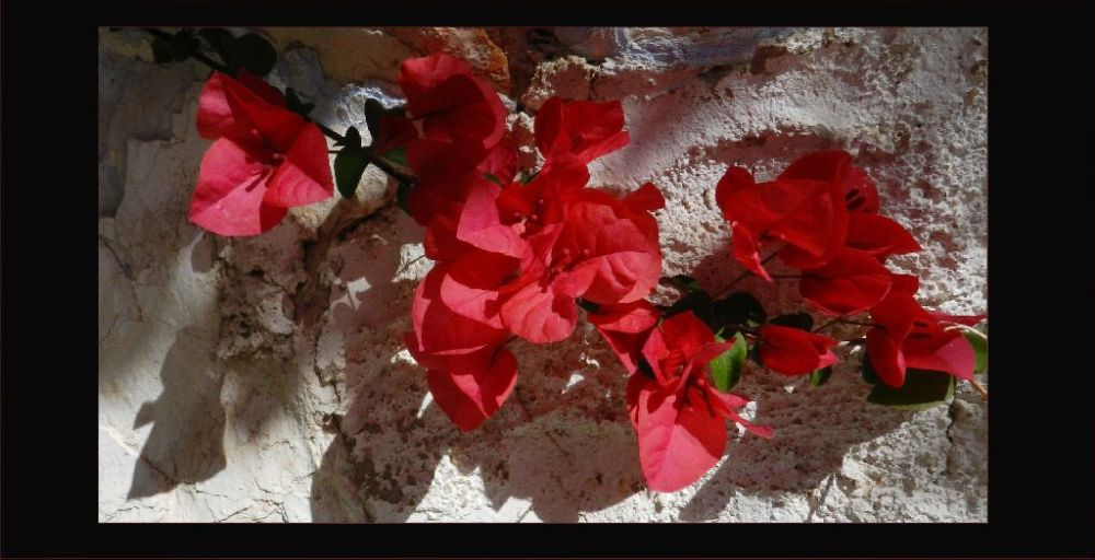 Red Bougainvillaeas in The Shade