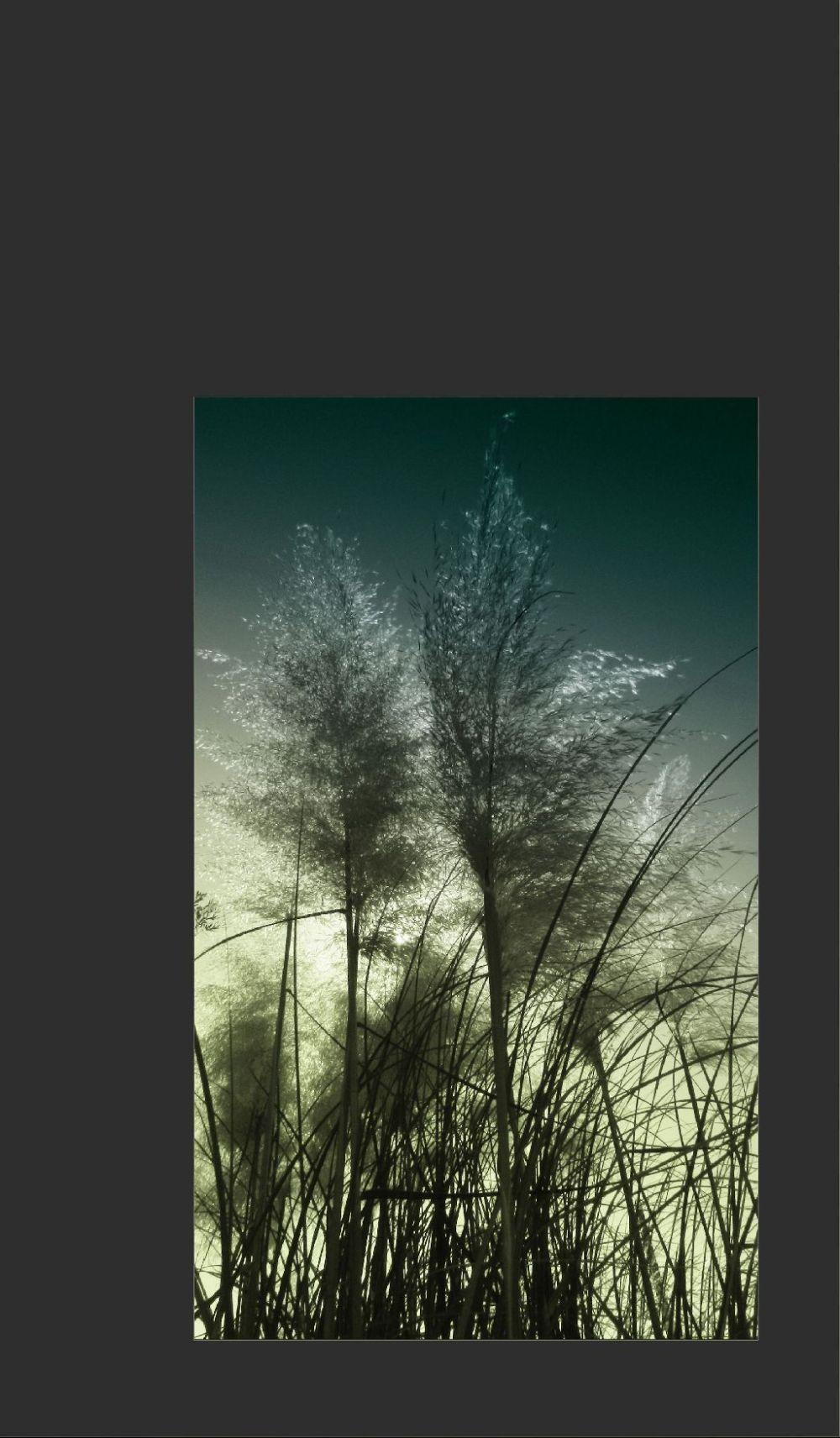 Daybreak of The Japanese Pampas Grass Field