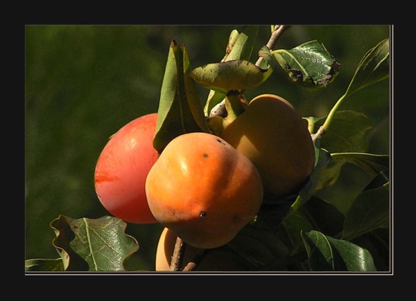 Mountain Persimmons
