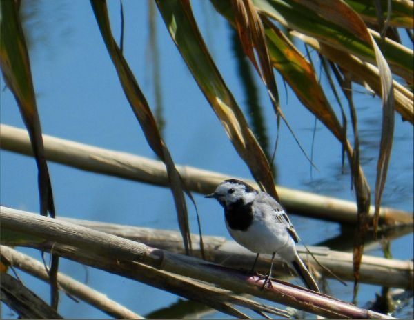 Wagtail in The Brook