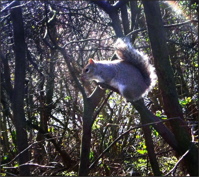 A Grey Squirrel in the Hyde Park