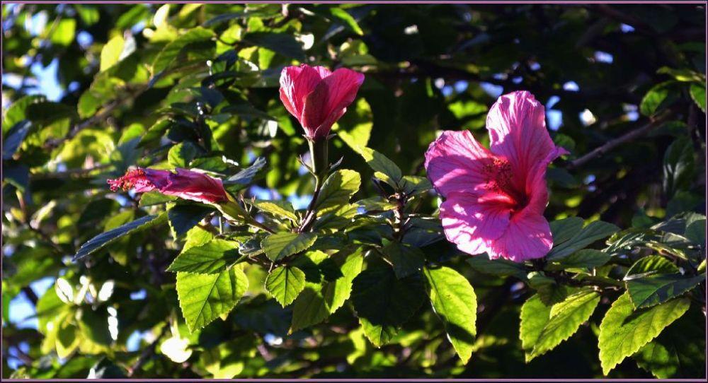 Hibiscus in Winter