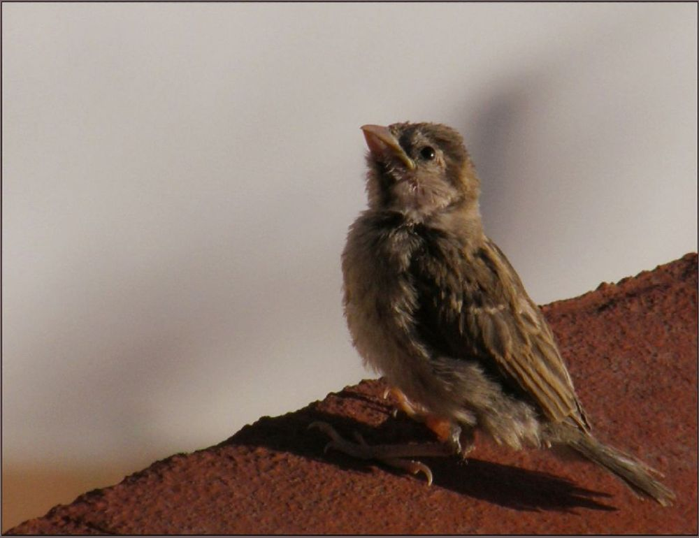 Sparrow's Chick