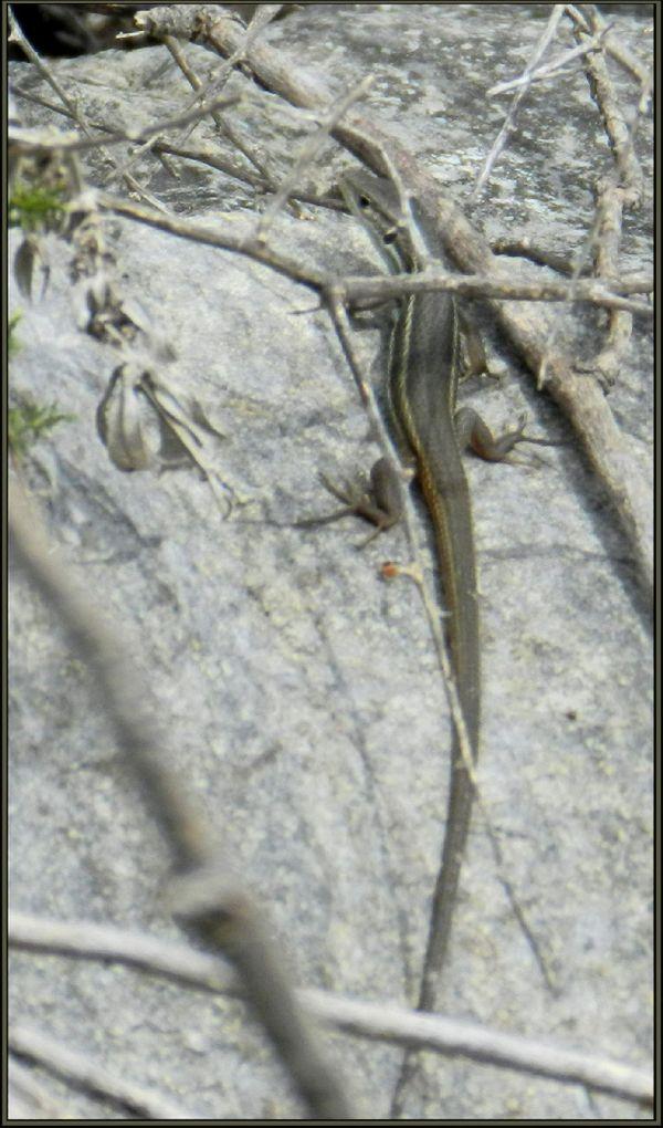 Baby Lizard