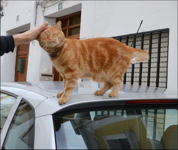 Friendly Ginger Cat