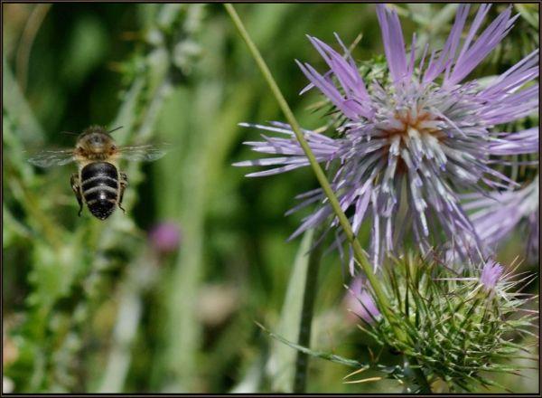 Cirsium&Bee