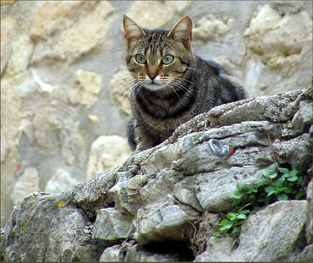 Tabby Cat  at The Mountain Village
