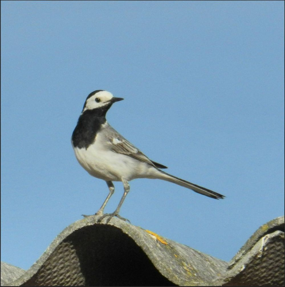 White Wagtail at The Roof