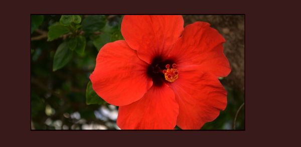 Hibiscus of The Early Autumn