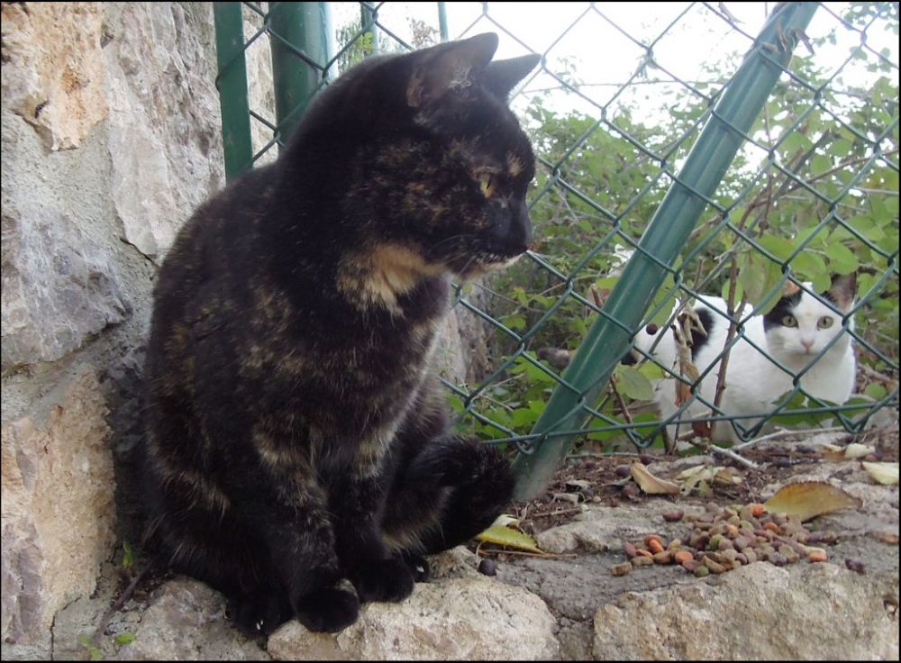Tortoiseshell Cat at The St. Ana Mountain