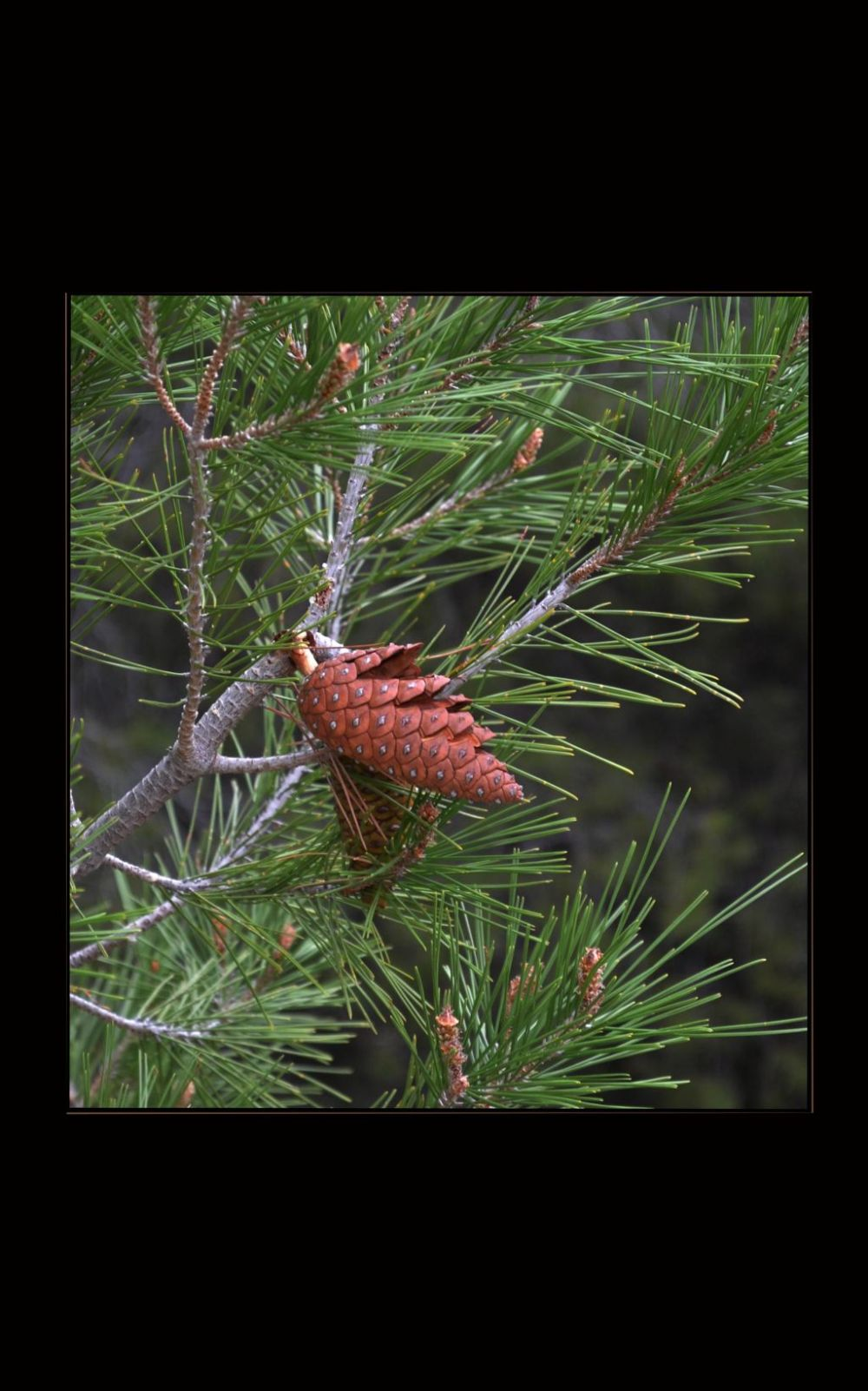 Young Pinecone