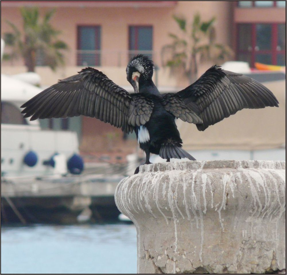 Cormorant - Drying Feathers