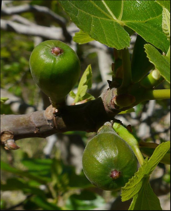 Young Fig Fruits