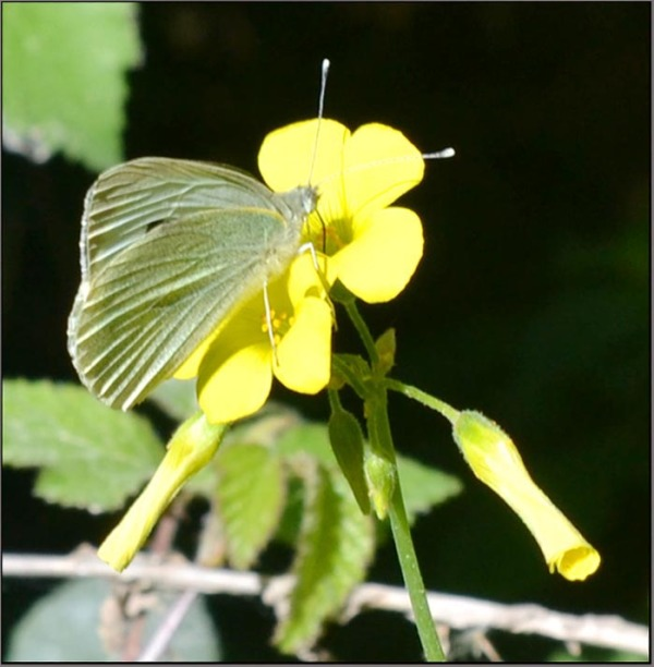 The Cabbage Butterfly & Field Flowers