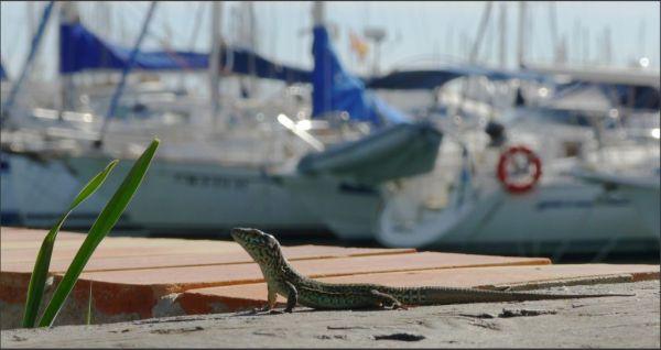 Lizard in The Yacht Harbor