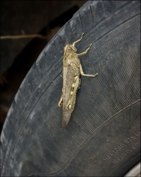 Grasshoppers on The Car Tyre