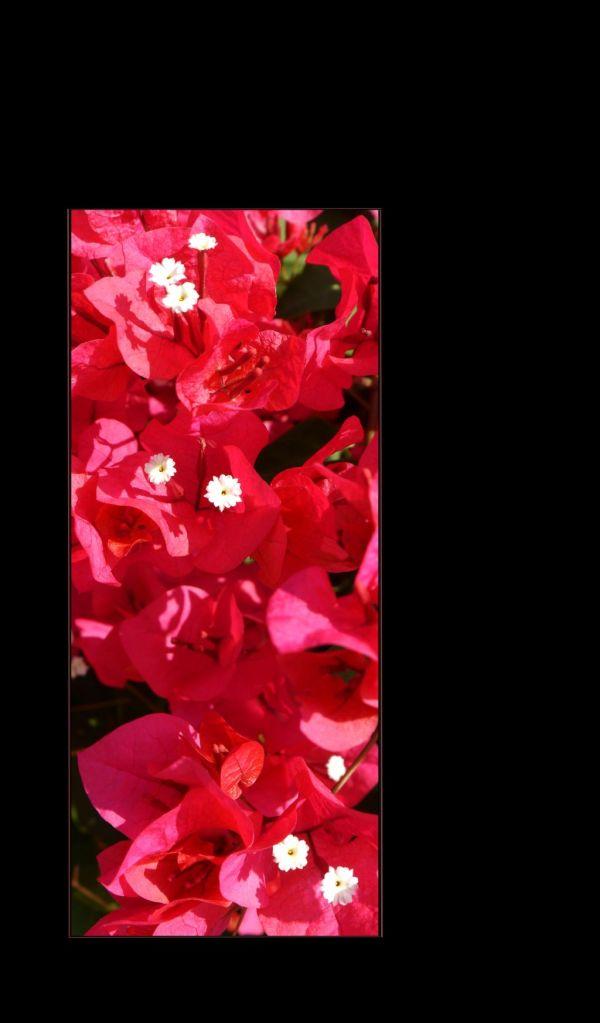 Red Bougainvillaeas  in Full Bloom