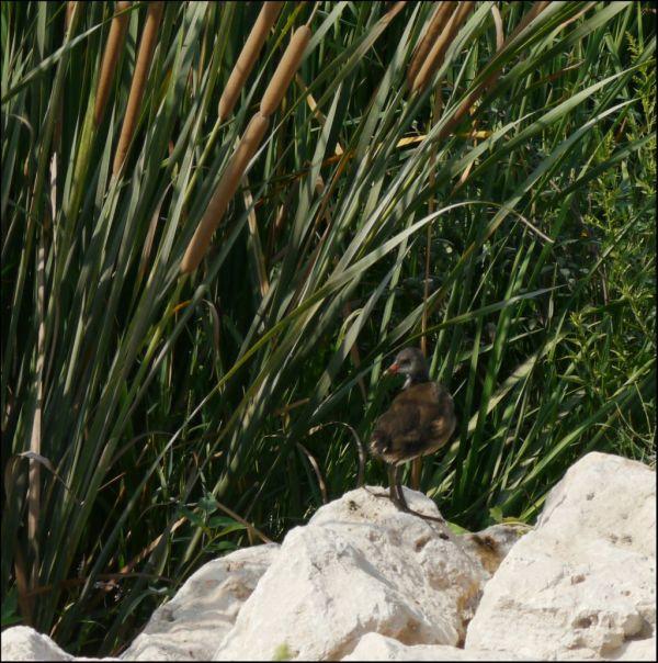Moorhen's Chick