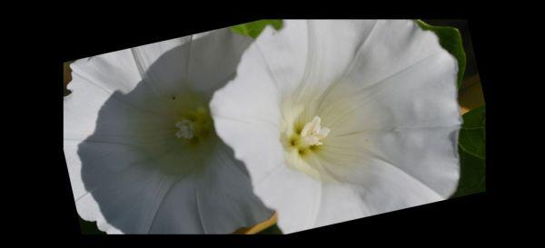 White Bindweed