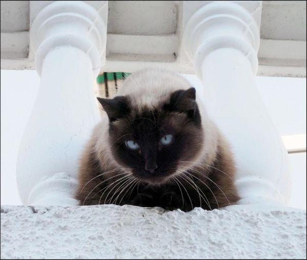 Big Siamese Cat at The  Balcony