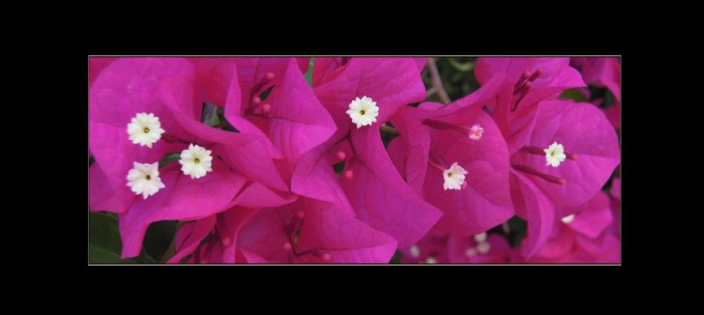 Pink Bougainvillea in Full Bloom