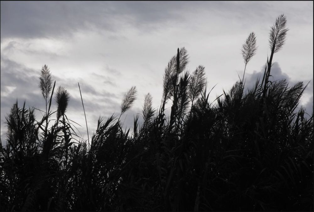 Ears of the Pampas Grass in the Evening Glow