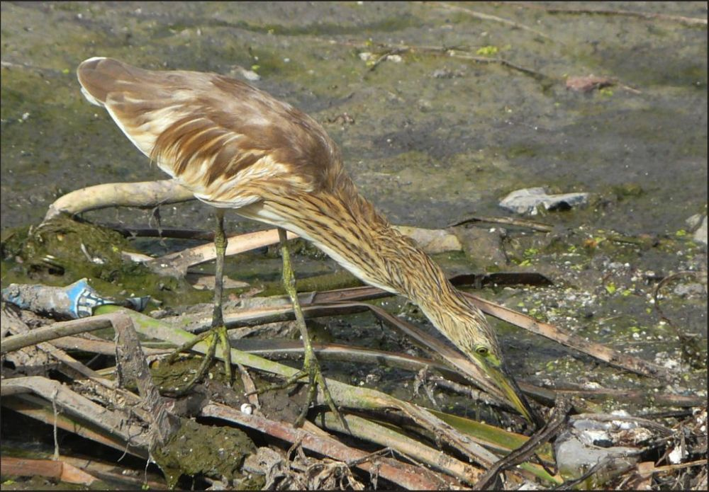 Yellow Bittern in The Stream