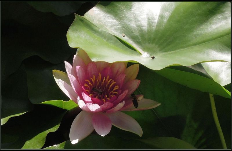 Flowering  Pink Water Lily & Honeybees