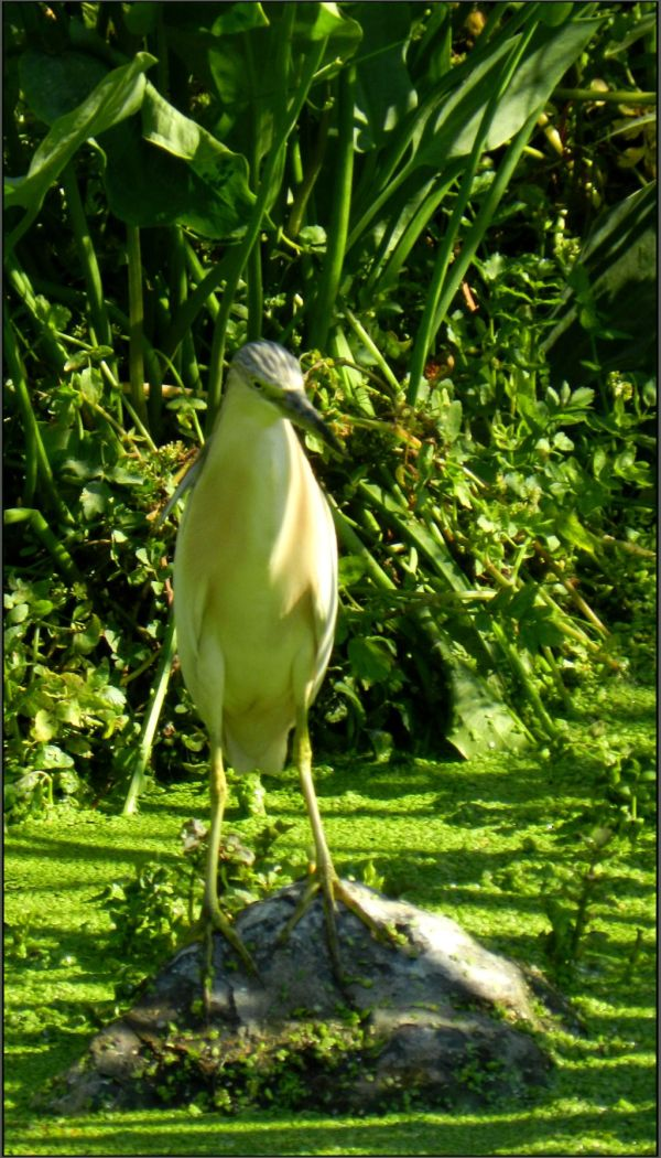 Young Yellow Bittern in The Stream