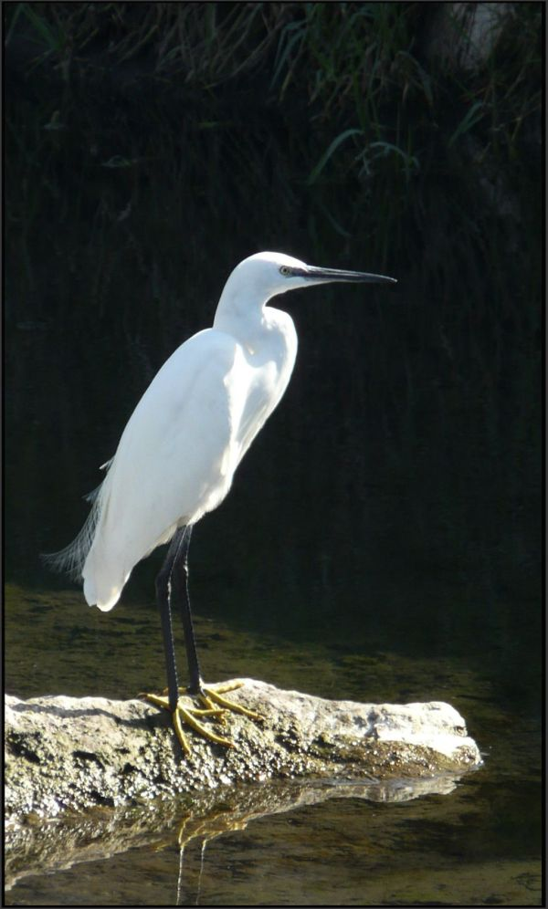 Egret at The River Bank