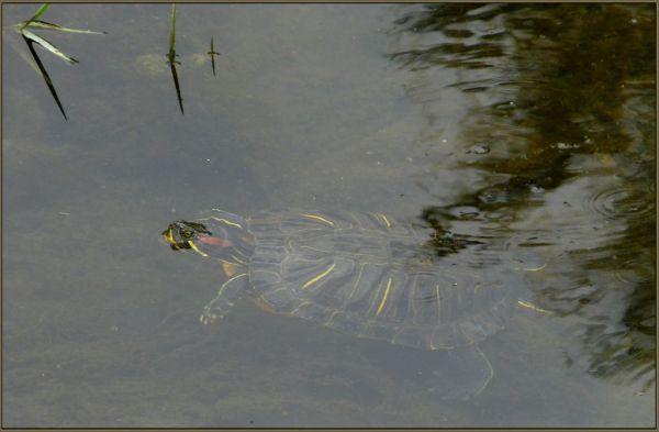 Swimming Turtle in The Stream