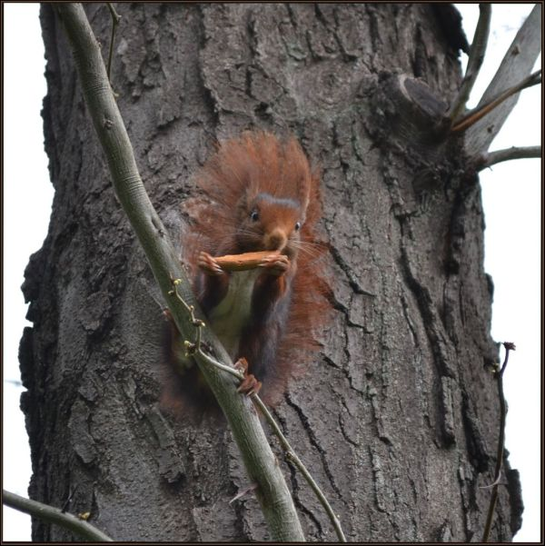 Red Squirrel at Madrid Central Park