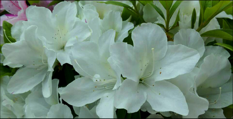 Japanese Rhododendrons