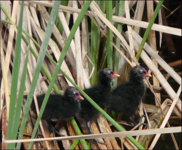 Baby Common Moorhen
