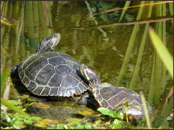 Sunbathing Turtles in The Stream