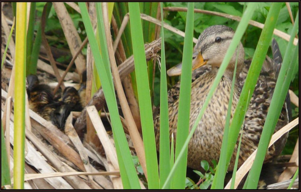Hatched Duck Eggs