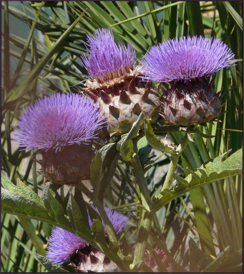 Blooming Field Thistles