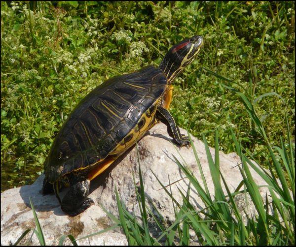 Sunbathing Turtle in The Stream