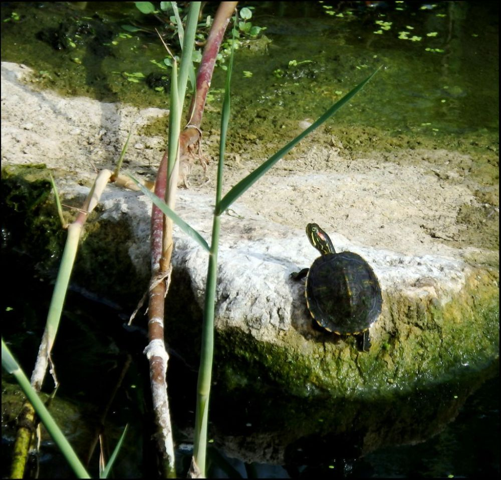 Baby Turtle in The Stream