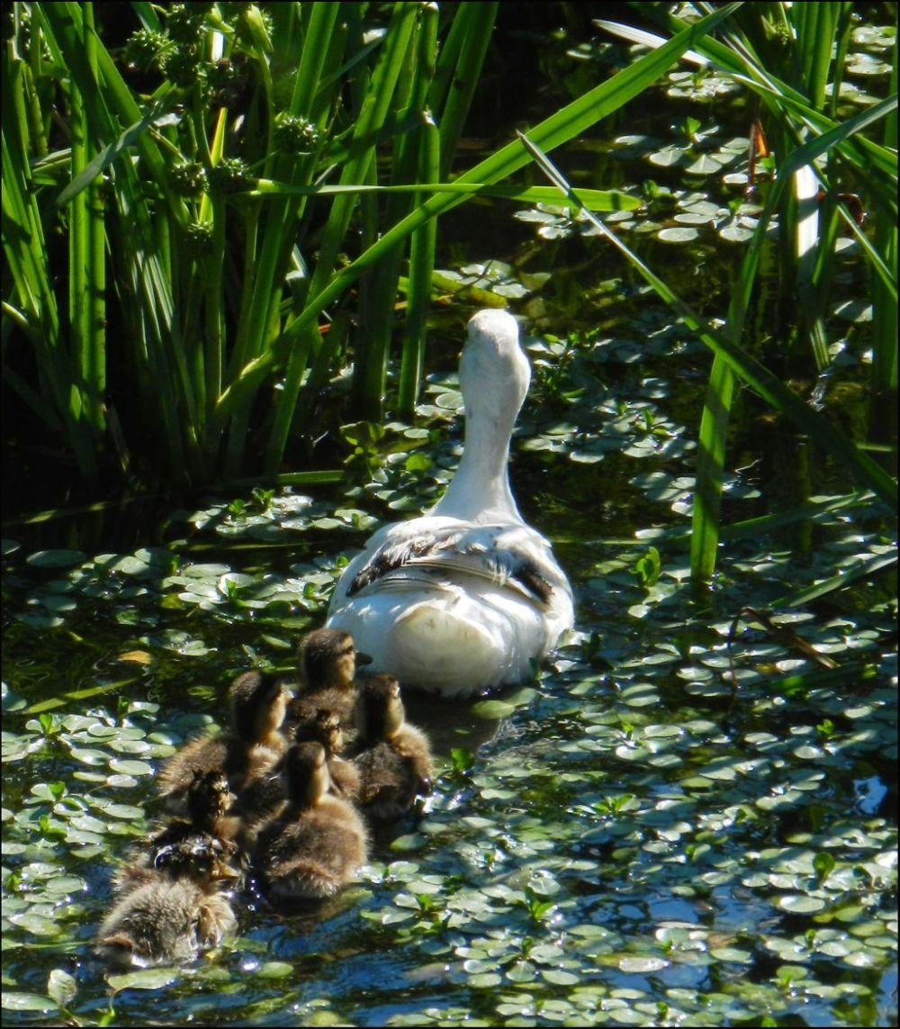 White Duck Moter & Duckllings