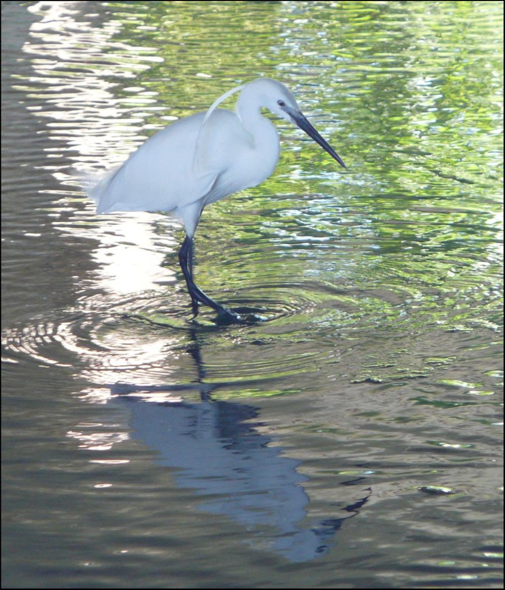 Great Egret in The Stream
