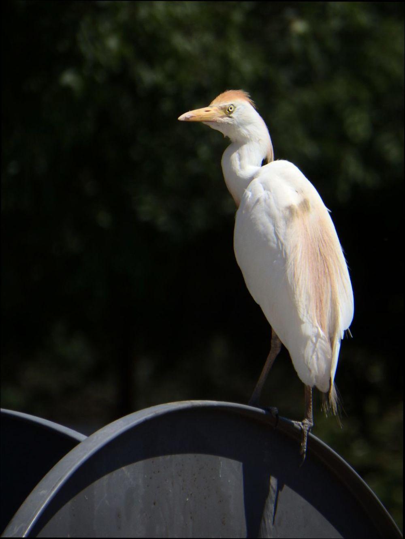 Great Egret at Gandia Park