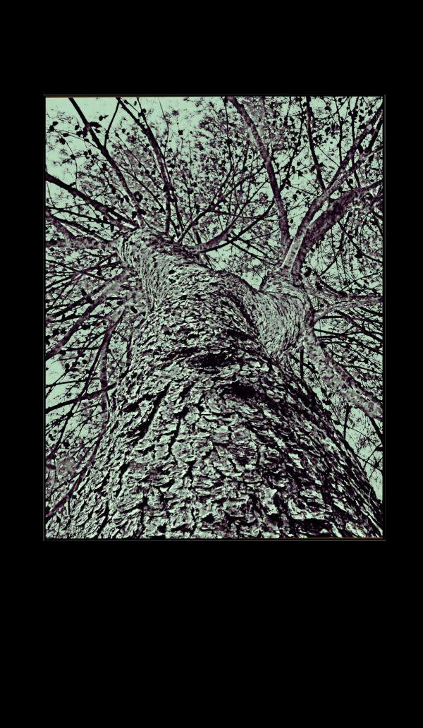 Old Pine-Tree
