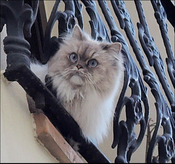 Cat at The Balcony