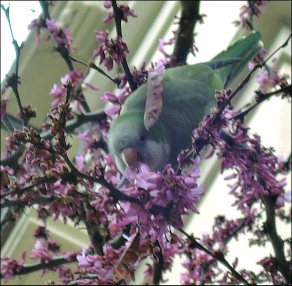 Monk Parakeets  in The Cherry Blossom