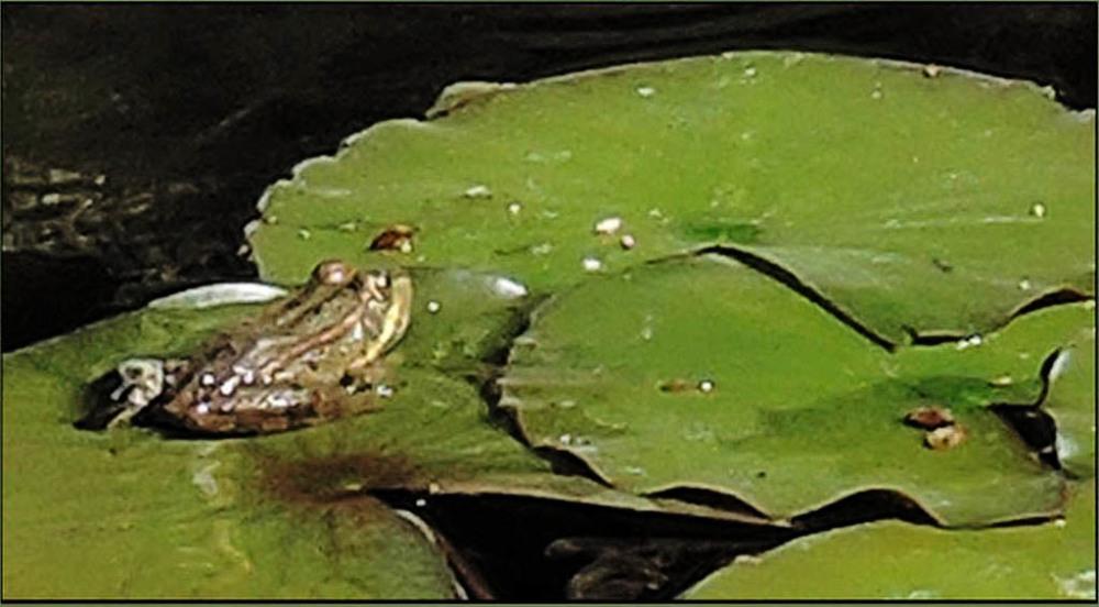 Green Flog in a Garden Pond