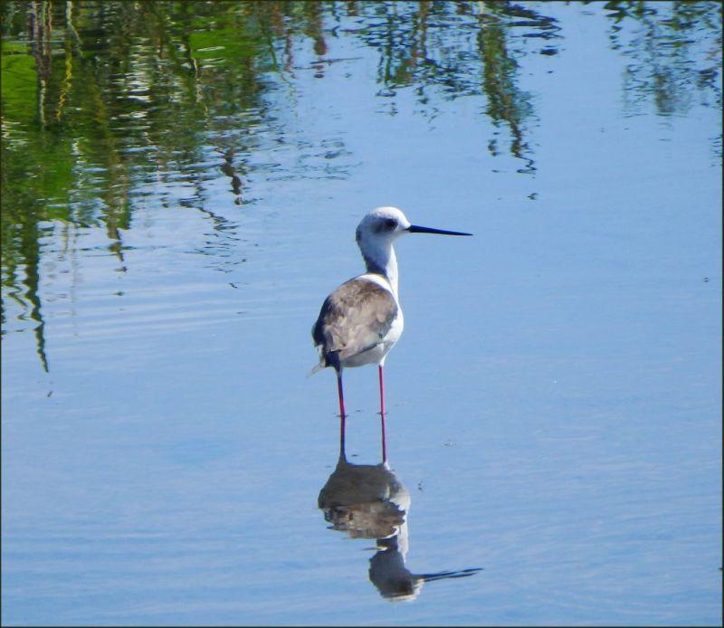 Black-winged Stilt in The Stream
