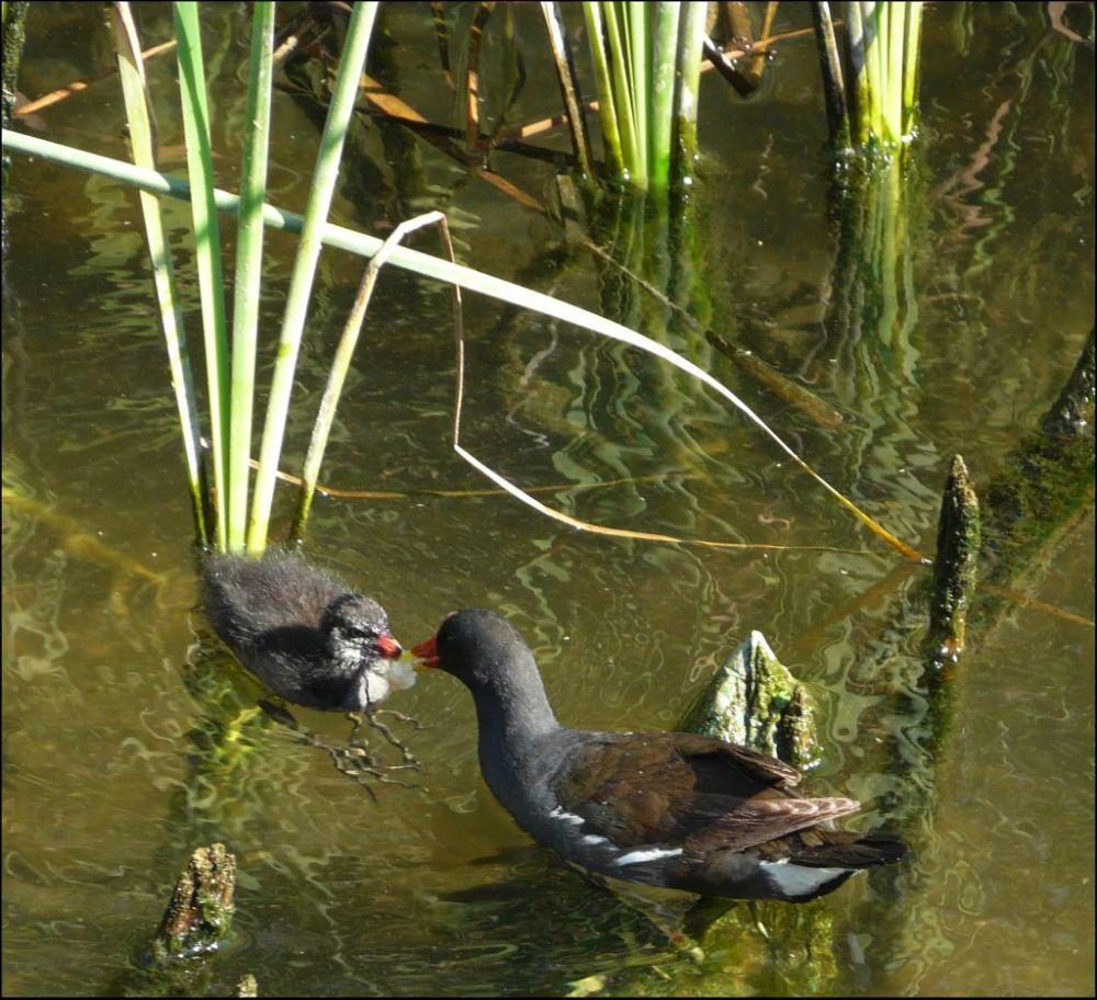 Common Moorhen Mother & Chicks
